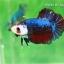 (ขายแล้วครับ)ปลากัดครีบสั้น-Fancy Halfmoon Plakats thumbnail 1