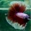 """(ขายแล้วครับ)""""คัดเกรด""""ปลากัดครีบยาว-Halfmoon BF Lavender Fancy thumbnail 6"""
