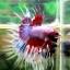 (ขายแล้วครับ)ปลากัดครีบยาวหางมงกุฏ-Crowntails Fancy thumbnail 4