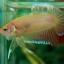 ปลากัดครีบสั้น - Halfmoon Plakats Yellow thumbnail 6
