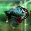 """(ขายแล้วครับ)""""คัดเกรด""""ปลากัดครีบสั้น-Halfmoon Plakats Fancy Dragon Green Red thumbnail 11"""