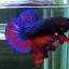 ปลากัดคัดเกรดครีบสั้น - Halfmoon Plakad Fancy Dragon(Red Blue) Quality Grade AAA+ thumbnail 2