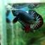"""(ขายแล้วครับ)""""คัดเกรด""""ปลากัดครีบสั้น-Halfmoon Plakats Fancy Dragon Green Red thumbnail 6"""