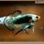 คัดเกรดปลากัดครีบสั้นหางพระจันทร์ครึ่งดวง - Halfmoon Plakat Fancy Mustrad thumbnail 4