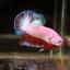 """(ขายแล้วครับ)ตอนรับปีใหม่""""คัดเกรด""""ปลากัดครีบสั้น-Halfmoon Plakats Fancy Marble Pink thumbnail 7"""