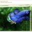 คัดเกรดปลากัดครีบสั้น-Halfmoon Plakat Super Blue thumbnail 3