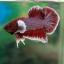 """(ขายแล้วครับ)""""คัดเกรด""""ปลากัดครีบสั้นหูช้าง-Halfmoon Plakats Super BigEar Lavender thumbnail 2"""