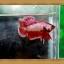 (ขายแล้วครับ)ปลากัดครีบสั้น-Halfmoon Plakats thumbnail 1