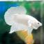 """(ขายแล้วครับ)""""คัดเกรด""""ปลากัดครีบสั้น-Halfmoon Plakats White Platinum thumbnail 8"""