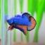 คัดเกรดปลากัดครีบสั้น-Halfmoon Plakat Fancy Blue Orange thumbnail 3