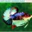 """(ขายแล้วครับ)""""คัดเกรดประกวด""""ปลากัดครีบสั้น-Halfmoon Plakats Fancy Dragon Koi Quality Grade thumbnail 1"""