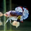 """(ขายแล้วครับ)""""คัดเกรด""""ปลากัดครีบสั้น-Halfmoon Plakats Super Fancy Grade AAA (ปลาประกวด) thumbnail 4"""