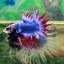 (ขายแล้วครับ)ปลากัดครีบยาวหางมงกุฏ-Crowntails Thailand thumbnail 4
