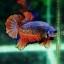 """(ขายแล้วครับ)""""คัดเกรด""""ปลากัดครีบสั้น-Halfmoon Plakats Fancy Rose Tails thumbnail 2"""