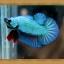 (ขายแล้วครับ)ปลากัดครีบสั้น - Halfmoon Plakats SUPPERBLUE thumbnail 4