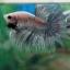 (ขายแล้วครับ)ตอนรับเทศกาล สงกรานต์ ปลากัดครีบยาวหางมงกุฏ-Crowntails Fancy thumbnail 2