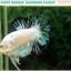 """(ขายแล้วครับ)""""คัดเกรด""""ปลากัดครีบสั้น-Halfmoon Plakats Fancy Marble Quality Grade thumbnail 12"""