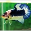 Hi - Premium Grade AAA+ คัดเกรดปลากัดครีบสั้น-Over Tails Halfmoon Plakad Fancy Blue Marble thumbnail 8