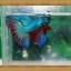ปลากัดครีบยาว-Fancy Halfmoon thumbnail 3