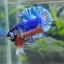 คัดเกรดปลากัดครีบสั้น-Halfmoon Plakat Fancy Dragon Blue Orange thumbnail 1