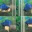 (ขายแล้วครับ)ปลากัดครีบสั้น-Halfmoon Plakats Super Fancy Blue thumbnail 1