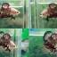 """(ขายแล้วครับ)ตอนรับเทศกาล สงกรานต์ """"คัดเกรด""""ปลากัดครีบสั้น-Halfmoon Plakats thumbnail 1"""