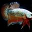"""ตอนรับปีใหม่""""คัดเกรด""""ปลากัดครีบสั้น-Halfmoon Plakats Fancy Dragon Orange thumbnail 3"""
