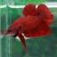 (ขายแล้วครับ)Super red ปลากัดครีบสั้น-Halfmoon Plakats Super Red thumbnail 7