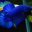 Hi - Premium Grade AAA+ คัดเกรดปลากัดครีบสั้น-Over Tails Halfmoon Plakad Fancy Blue Mustrad thumbnail 2