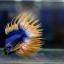 เพศผู้ปลากัดครีบยาว หางมงกุฏ ลายธงชาติ - Male CrownTails Premium Quality Grade thumbnail 5