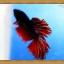 ปลากัดครีบยาว - Fancy Halfmoon thumbnail 1