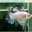 """(ขายแล้วครับ)""""คัดเกรด""""ปลากัดครีบสั้น-Halfmoon Plakats Fancy Marble Quality Grade thumbnail 2"""