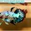 """(ขายแล้วครับ)""""คัดเกรด""""ปลากัดครีบสั้น-Halfmoon Plakats Fancy Dragon Nice Colors thumbnail 6"""