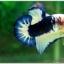 Hi - Premium Grade AAA+ คัดเกรดปลากัดครีบสั้น-Over Tails Halfmoon Plakad Fancy Blue Marble thumbnail 5