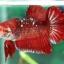 (ขายแล้วครับ)ปลากัดครีปสั้น - Fancy Halfmoon Plakats thumbnail 4