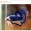 คัดเกรดปลากัดครีบสั้น-Halfmoon Plakat Blue Mustrad thumbnail 1