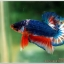 Hi - Premium Grade AAA+ คัดเกรดปลากัดครีบสั้น-Over Tails Halfmoon Plakad Fancy Blue Orange thumbnail 2