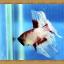 ปลากัดครีบยาว - Fancy Halfmoon033 thumbnail 3