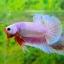 คัดเกรดปลากัดครีบสั้น-Halfmoon Plakat Fancy Dragon Pink thumbnail 2