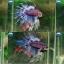 """(ขายแล้วครับ)""""คัดเกรด""""ปลากัดครีบยาวหางมงกุฎ-Crowntails Fancy thumbnail 1"""