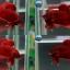 """(ขายแล้วครับ)Super red """"คัดเกรด""""ปลากัดครีบสั้น-Halfmoon Plakats thumbnail 1"""