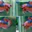 (ขายแล้วครับ)Fancy Orange Over ปลากัดครีบสั้น-Halfmoon Plakats thumbnail 1