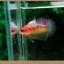 คัดเกรดปลากัดครีบสั้น-Halfmoon Plakat Fancy Nice Colors thumbnail 4
