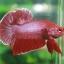 (ขายแล้วครับ)ปลากัดครีบสั้น - Halfmoon Plakats RED thumbnail 5