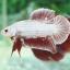 """""""คัดเกรด""""ปลากัดครีบสั้น-Halfmoon Plakats PinkDragon thumbnail 2"""