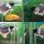 """(ขายแล้วครับ)""""คัดเกรด""""ปลากัดครีบสั้นหูช้าง-Halfmoon Plakats BigEar thumbnail 1"""