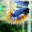 (ขายแล้วครับ)ปลากัดครีบยาวหางมงกุฎ-Crowntails04 thumbnail 1