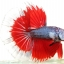 """""""คัดเกรดประกวด""""ปลากัดครีบยาว-Halfmoon Fancy Red Butterfly Premium Quality Grade AAA+ thumbnail 1"""