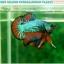 """(ขายแล้วครับ)""""คัดเกรดประกวด""""ปลากัดครีบสั้น-Over Halfmoon Plakats Fancy Dragon Green Orange Quality Grade thumbnail 2"""