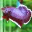 """(ขายแล้วครับ)""""คัดเกรด""""ปลากัดครีบสั้น-Halfmoon Plakats Lavender thumbnail 10"""